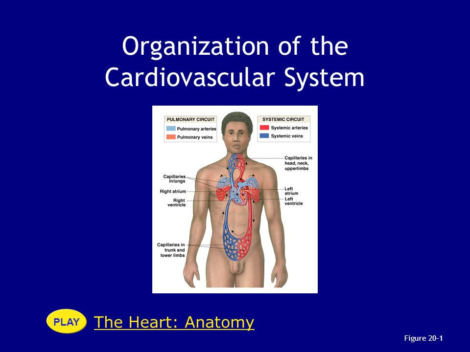 The Heart: Anatomy PLAY Figure 20–1 Organization of the Cardiovascular System