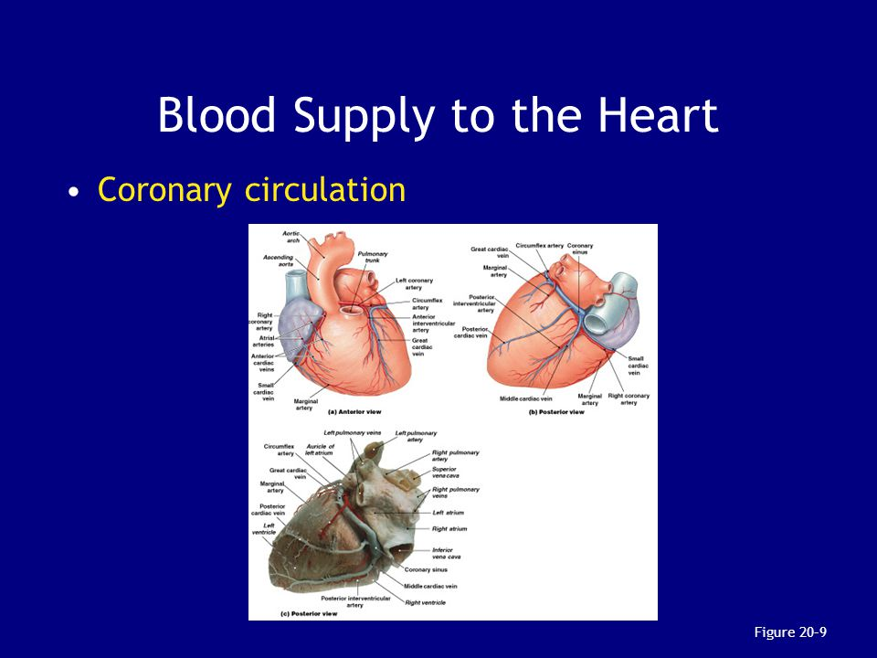 Blood Supply to the Heart Coronary circulation Figure 20–9
