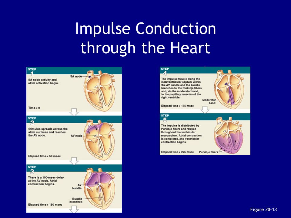 Figure 20–13 Impulse Conduction through the Heart