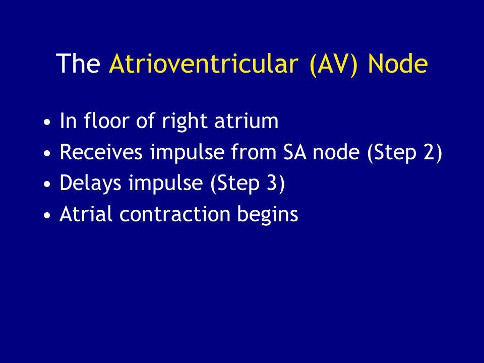 The Atrioventricular (AV) Node In floor of right atrium Receives impulse from SA node (Step 2) Delays impulse (Step 3) Atrial contraction begins