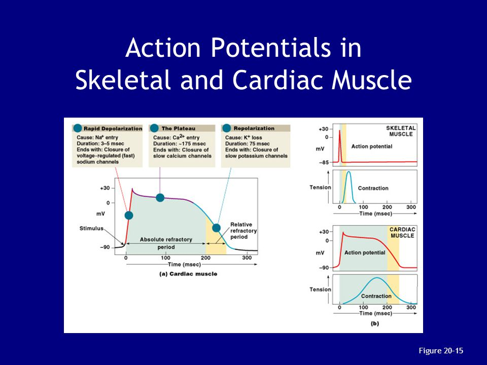 Action Potentials in Skeletal and Cardiac Muscle Figure 20–15