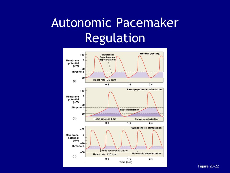 Autonomic Pacemaker Regulation Figure 20–22