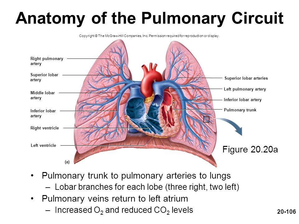 Superior lobar arteries Left pulmonary artery Inferior lobar artery Left ventricle Right ventricle Pulmonary trunk (a) Right pulmonary artery Superior