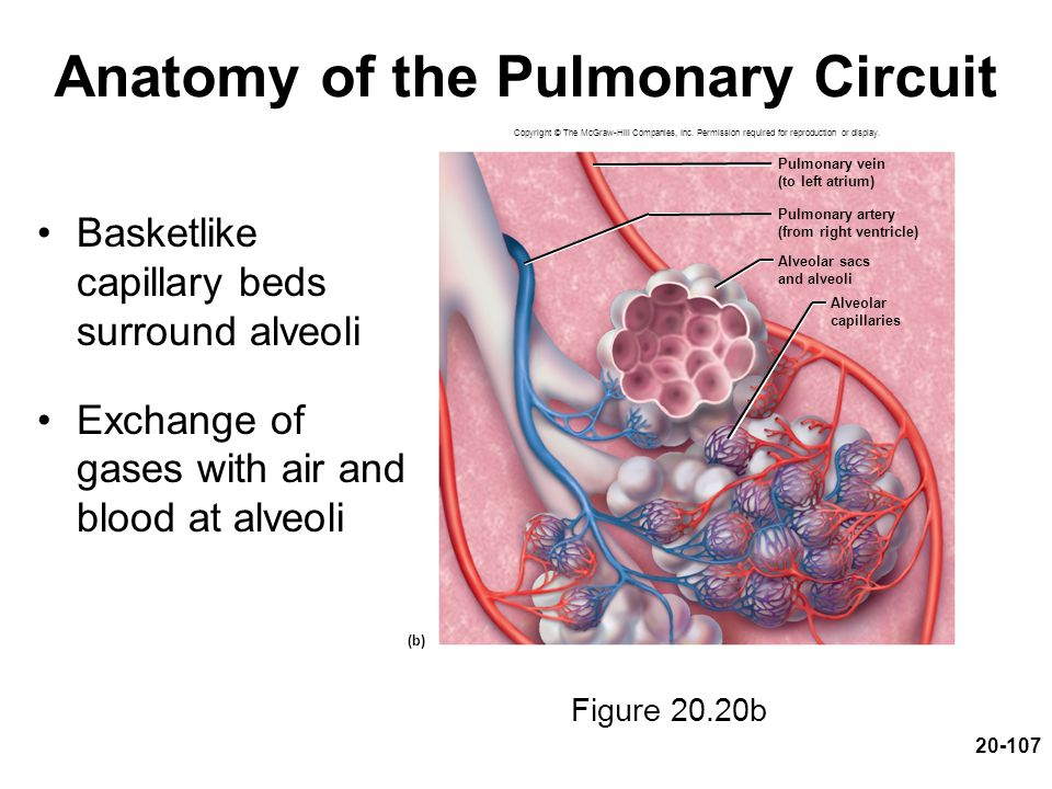 20-107 Anatomy of the Pulmonary Circuit Basketlike capillary beds surround alveoli Exchange of gases with air and blood at alveoli Figure 20.20b Copyr