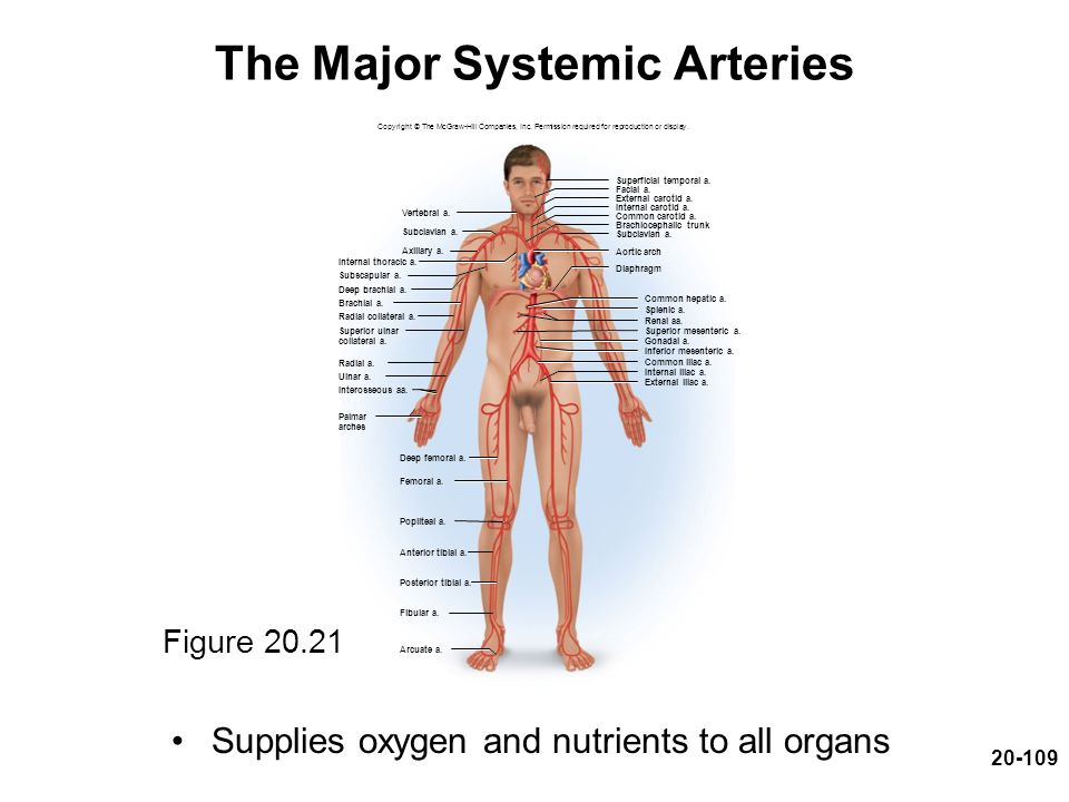 20-109 The Major Systemic Arteries Supplies oxygen and nutrients to all organs Figure 20.21 Copyright © The McGraw-Hill Companies, Inc. Permission req