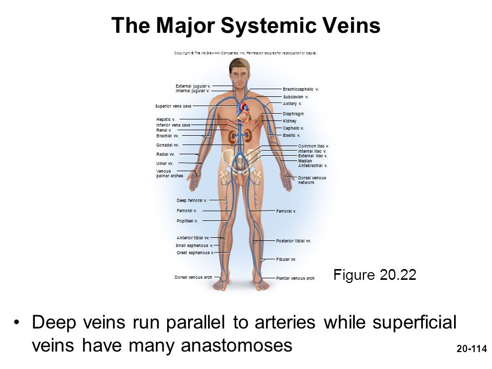 20-114 The Major Systemic Veins Deep veins run parallel to arteries while superficial veins have many anastomoses Copyright © The McGraw-Hill Companie