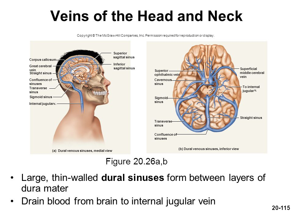 20-115 Veins of the Head and Neck Large, thin-walled dural sinuses form between layers of dura mater Drain blood from brain to internal jugular vein F