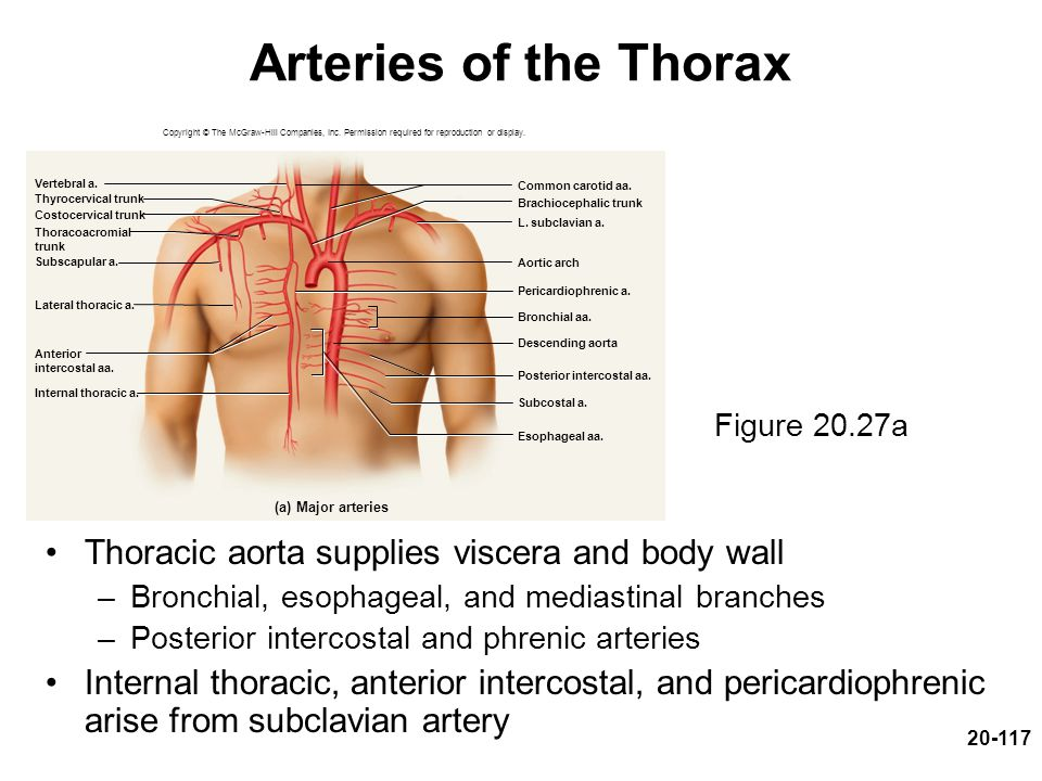 20-117 Arteries of the Thorax Thoracic aorta supplies viscera and body wall –Bronchial, esophageal, and mediastinal branches –Posterior intercostal an