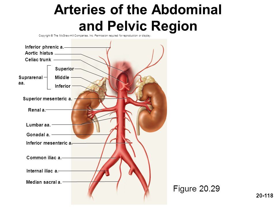 20-118 Arteries of the Abdominal and Pelvic Region Figure 20.29 Copyright © The McGraw-Hill Companies, Inc. Permission required for reproduction or di