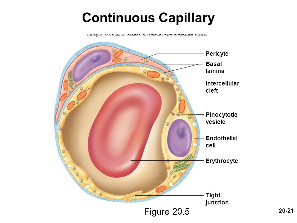 20-21 Continuous Capillary Figure 20.5 Copyright © The McGraw-Hill Companies, Inc. Permission required for reproduction or display. Pericyte Erythrocy