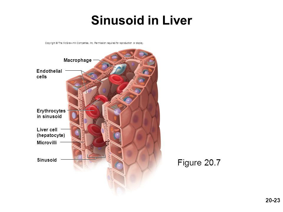 20-23 Sinusoid in Liver Figure 20.7 Copyright © The McGraw-Hill Companies, Inc. Permission required for reproduction or display. Macrophage Sinusoid M