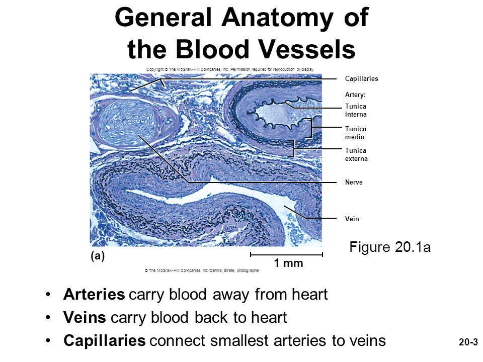 20-4 The Vessel Wall Tunica interna (tunica intima) –Lines the blood vessel and is exposed to blood –Endothelium: simple squamous epithelium overlying a basement membrane and a sparse layer of loose connective tissue Acts as a selectively permeable barrier Secretes chemicals that stimulate dilation or constriction of the vessel
