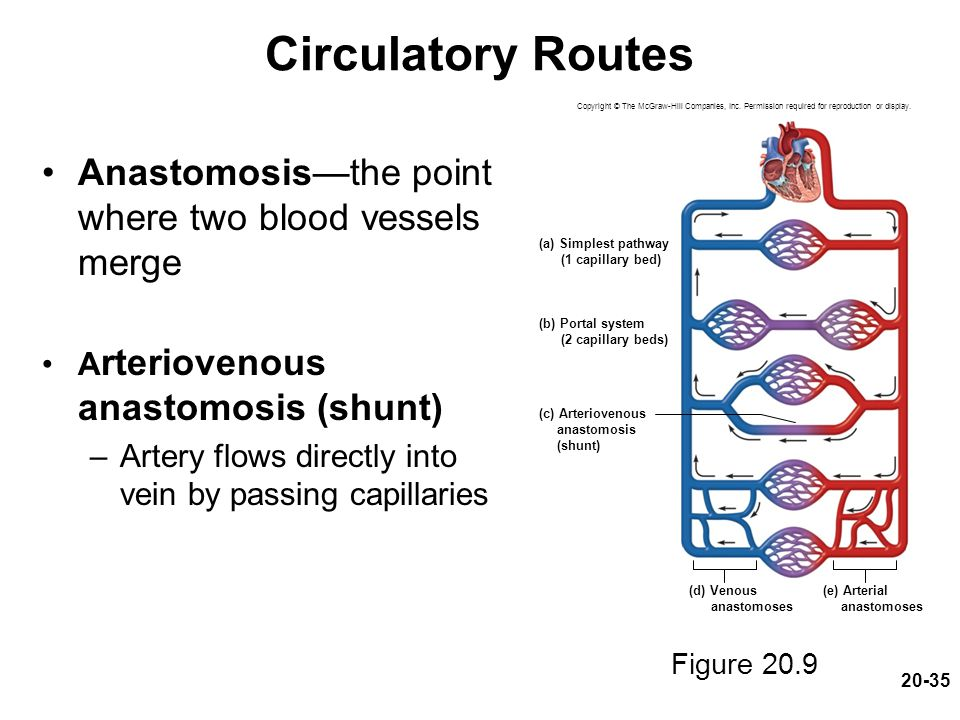 20-35 Circulatory Routes Anastomosis—the point where two blood vessels merge A rteriovenous anastomosis (shunt) –Artery flows directly into vein by pa