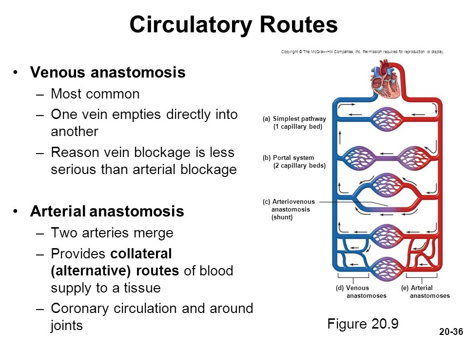 20-36 Circulatory Routes Venous anastomosis –Most common –One vein empties directly into another –Reason vein blockage is less serious than arterial b