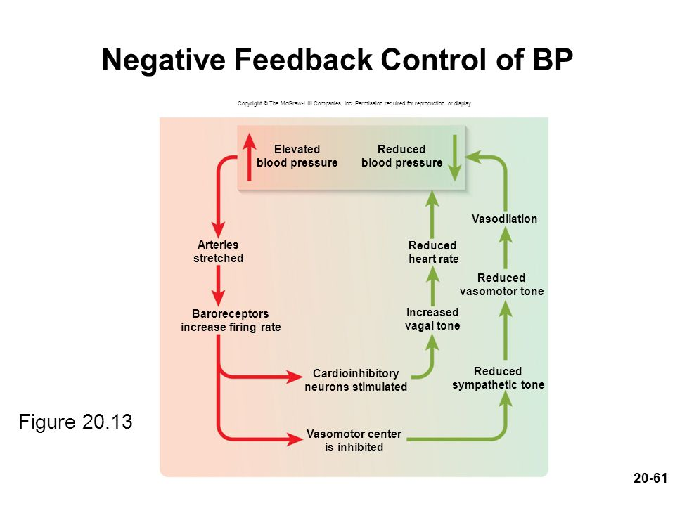 20-61 Negative Feedback Control of BP Figure 20.13 Copyright © The McGraw-Hill Companies, Inc. Permission required for reproduction or display. Vasodi