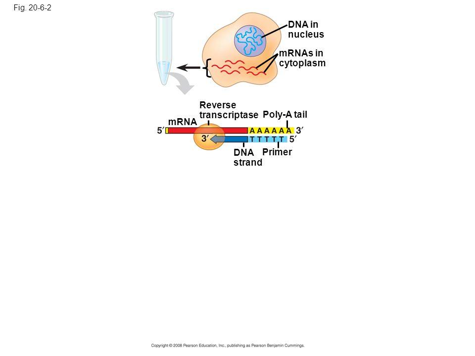 Fig. 20-6-2 DNA in nucleus mRNAs in cytoplasm Reverse transcriptase Poly-A tail DNA strand Primer mRNA