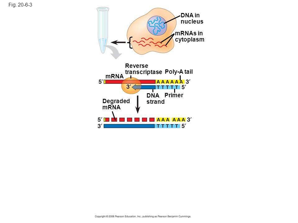Fig. 20-6-3 DNA in nucleus mRNAs in cytoplasm Reverse transcriptase Poly-A tail DNA strand Primer mRNA Degraded mRNA