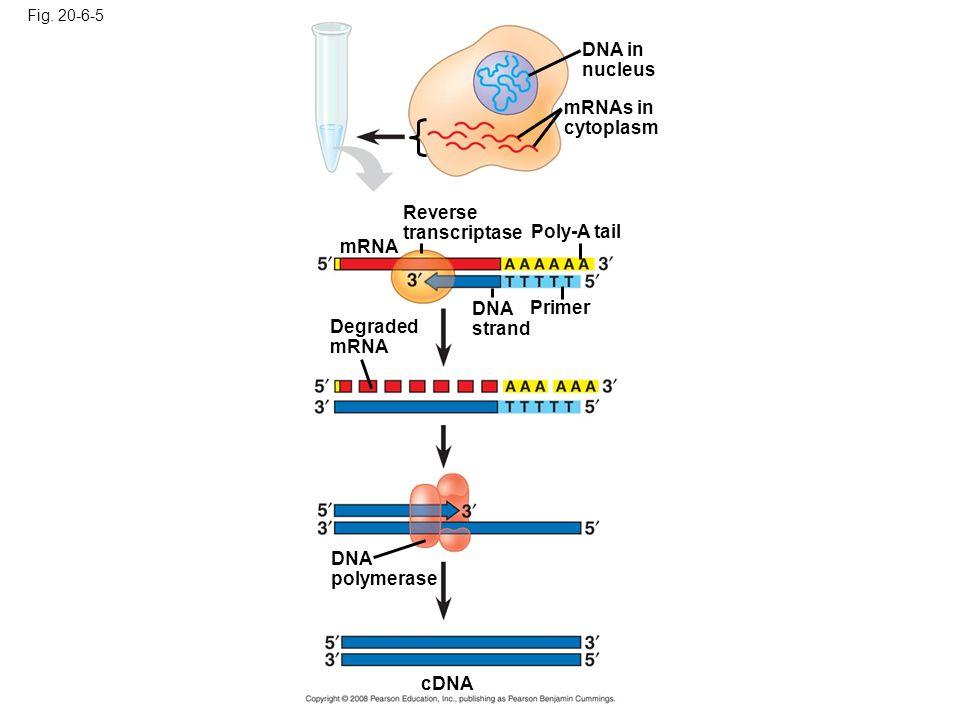 Fig. 20-6-5 DNA in nucleus mRNAs in cytoplasm Reverse transcriptase Poly-A tail DNA strand Primer mRNA Degraded mRNA DNA polymerase cDNA