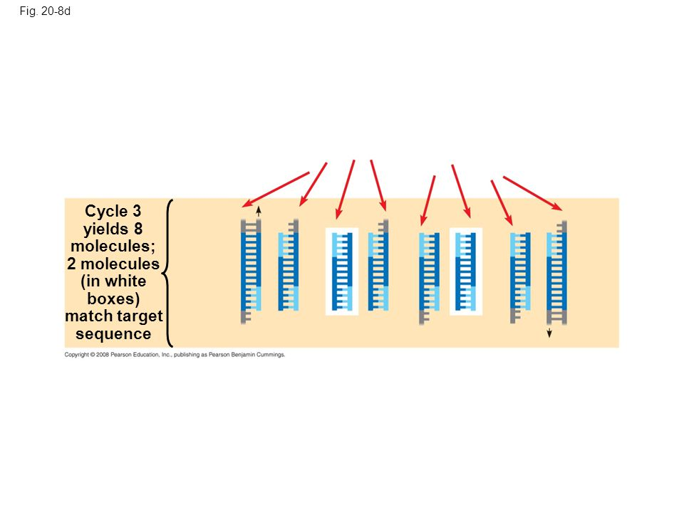 Fig. 20-8d Cycle 3 yields 8 molecules; 2 molecules (in white boxes) match target sequence
