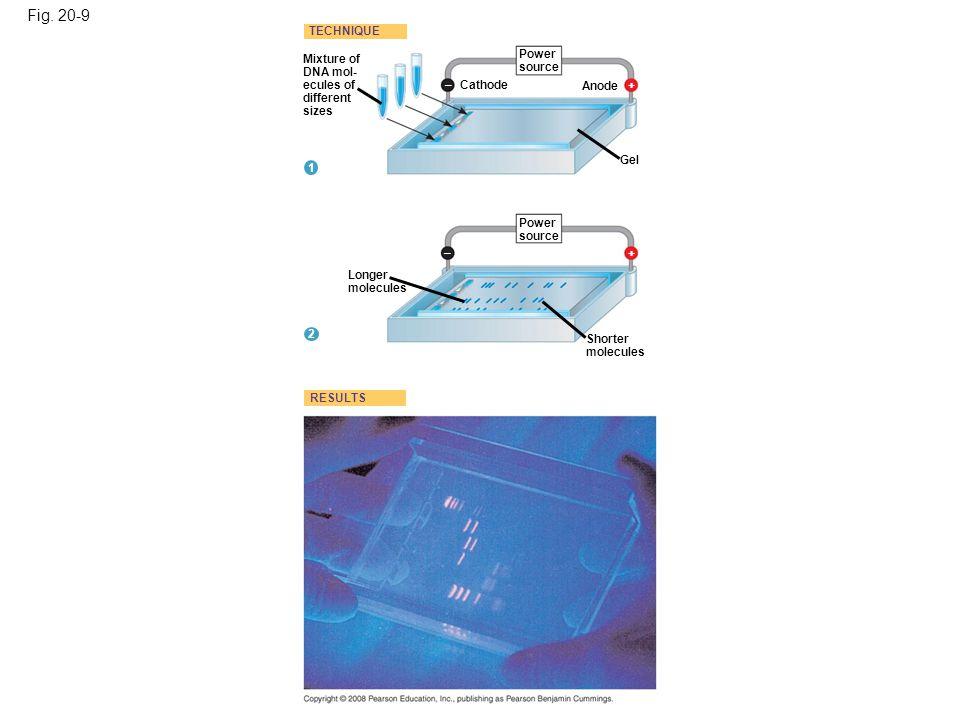 Fig. 20-9 Mixture of DNA mol- ecules of different sizes Power source Longer molecules Shorter molecules Gel Anode Cathode TECHNIQUE RESULTS 1 2 + + –