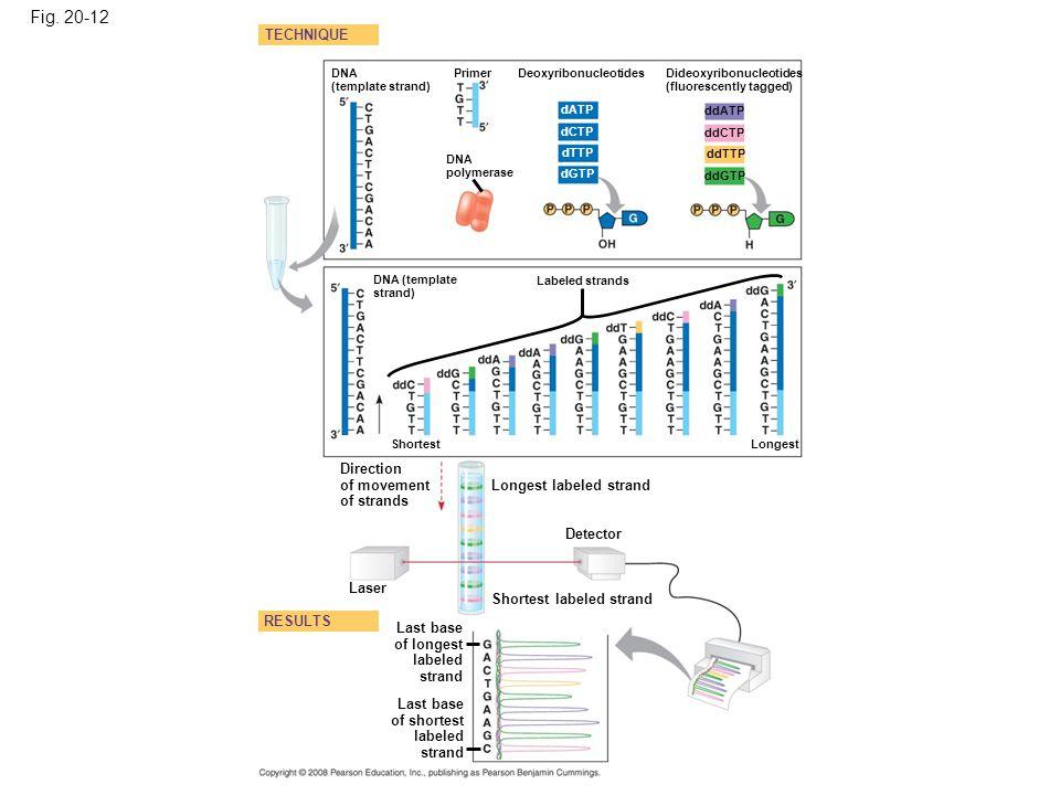 Fig. 20-12 DNA (template strand) TECHNIQUE RESULTS DNA (template strand) DNA polymerase Primer Deoxyribonucleotides Shortest Dideoxyribonucleotides (f