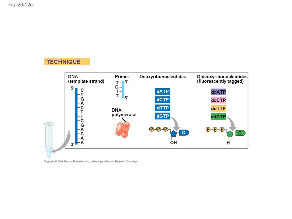 Fig. 20-12a DNA (template strand) TECHNIQUE DNA polymerase Primer DeoxyribonucleotidesDideoxyribonucleotides (fluorescently tagged) dATP dCTP dTTP dGT