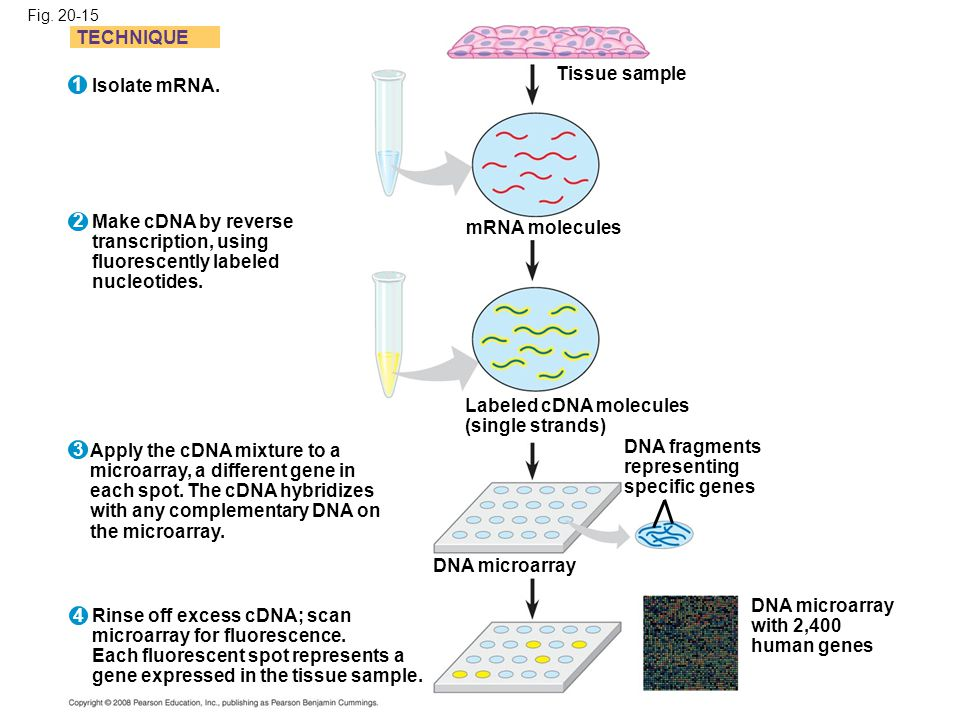 Fig. 20-15 TECHNIQUE Isolate mRNA. Make cDNA by reverse transcription, using fluorescently labeled nucleotides. Apply the cDNA mixture to a microarray