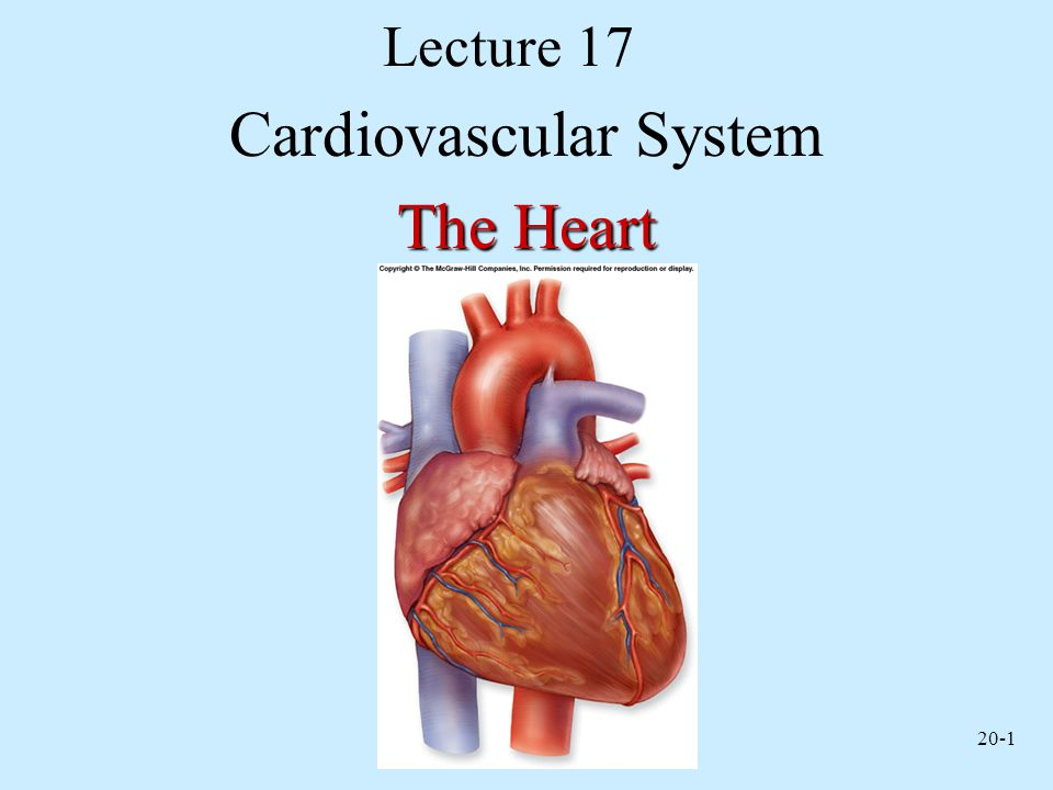 20-1 Lecture 17 Cardiovascular System The Heart