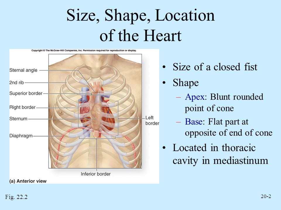 20-2 Size, Shape, Location of the Heart Size of a closed fist Shape –Apex: Blunt rounded point of cone –Base: Flat part at opposite of end of cone Loc