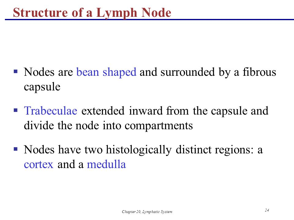 Chapter 20, Lymphatic System 24 Structure of a Lymph Node  Nodes are bean shaped and surrounded by a fibrous capsule  Trabeculae extended inward fro