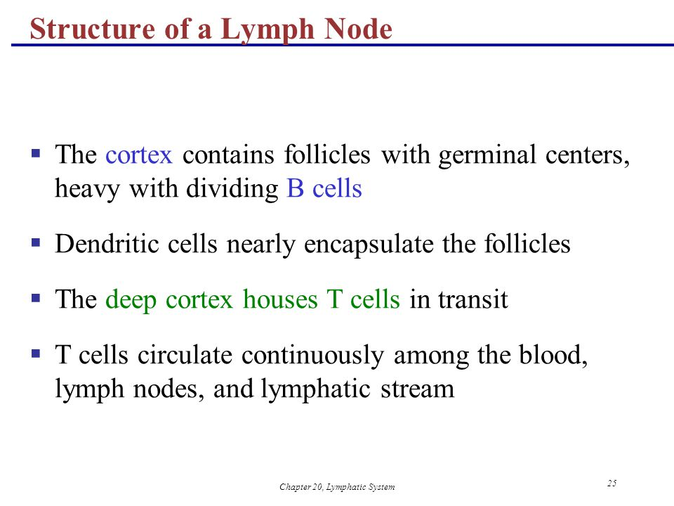 Chapter 20, Lymphatic System 25 Structure of a Lymph Node  The cortex contains follicles with germinal centers, heavy with dividing B cells  Dendrit