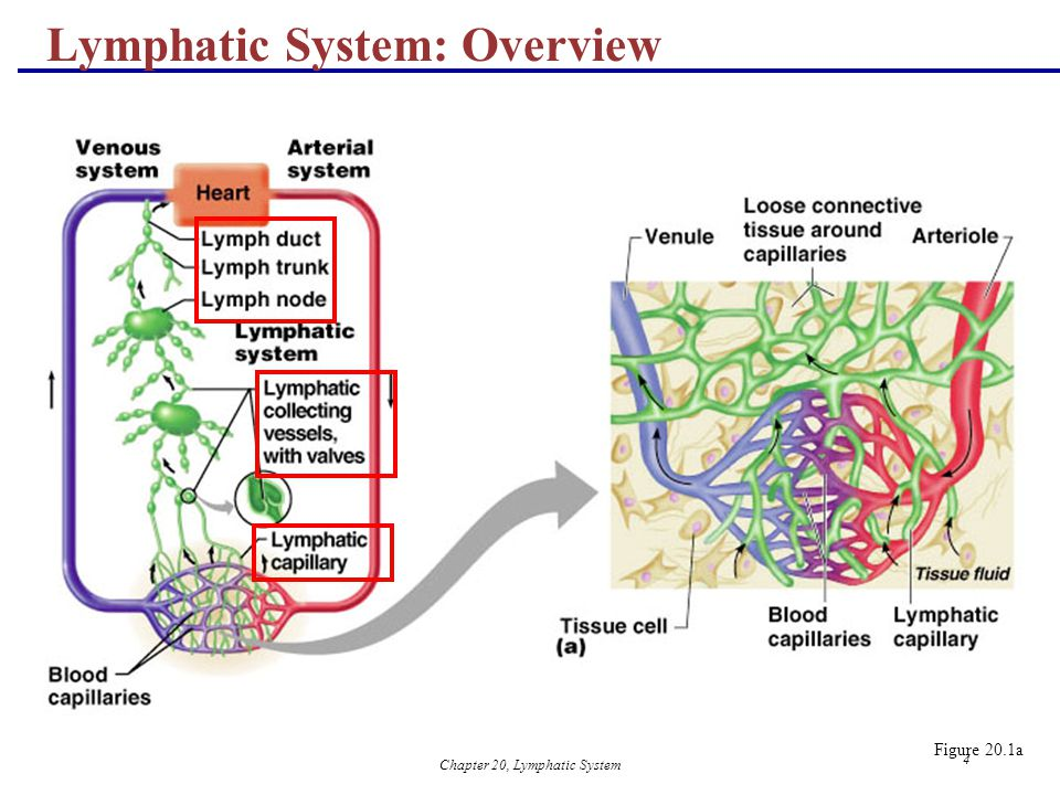 Chapter 20, Lymphatic System 4 Lymphatic System: Overview Figure 20.1a