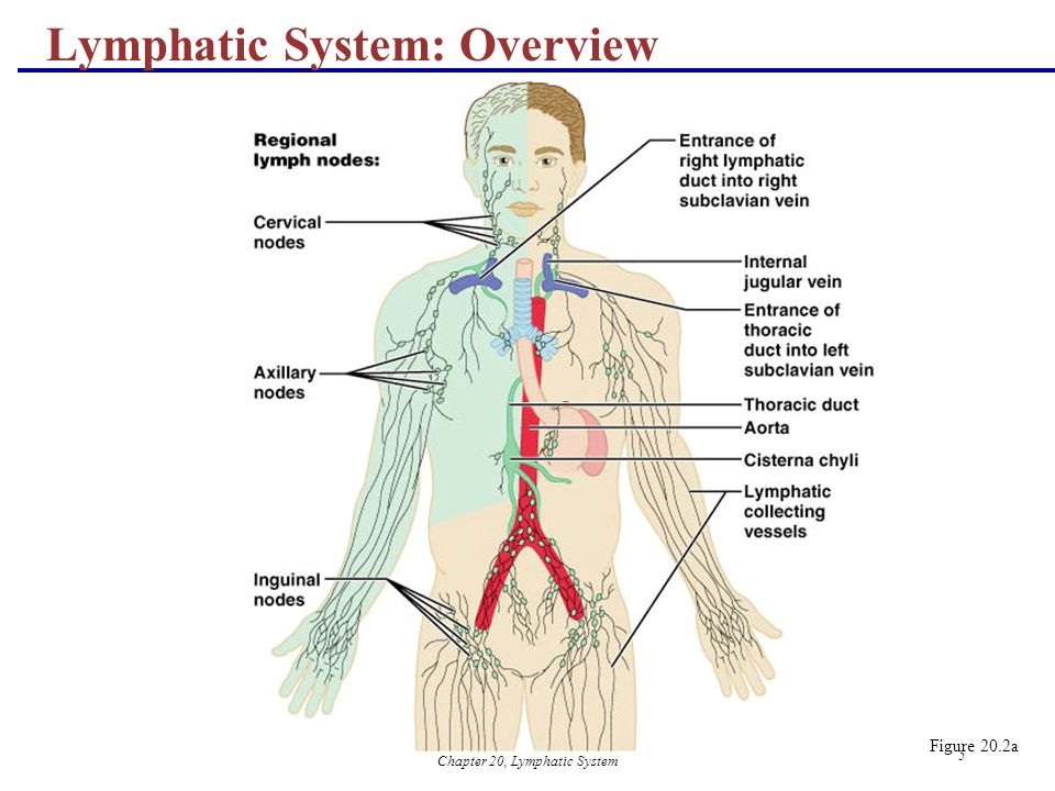Chapter 20, Lymphatic System 5 Lymphatic System: Overview Figure 20.2a