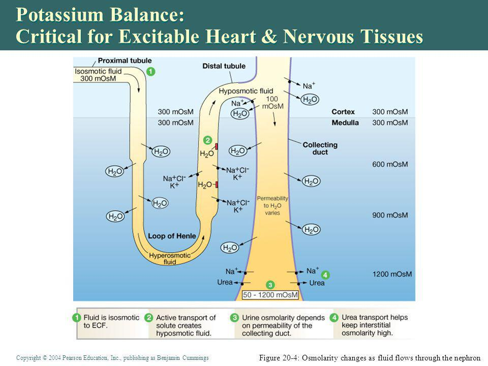 Copyright © 2004 Pearson Education, Inc., publishing as Benjamin Cummings Potassium Balance: Critical for Excitable Heart & Nervous Tissues Figure 20-4: Osmolarity changes as fluid flows through the nephron