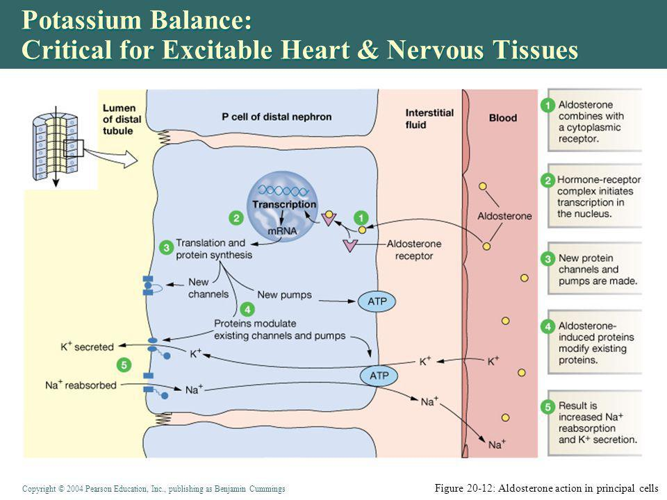 Copyright © 2004 Pearson Education, Inc., publishing as Benjamin Cummings Potassium Balance: Critical for Excitable Heart & Nervous Tissues Figure 20-12: Aldosterone action in principal cells