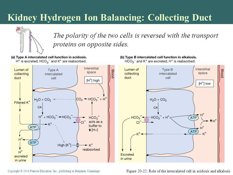 Copyright © 2004 Pearson Education, Inc., publishing as Benjamin Cummings Kidney Hydrogen Ion Balancing: Collecting Duct Figure 20-22: Role of the intercalated cell in acidosis and alkalosis The polarity of the two cells is reversed with the transport proteins on opposite sides.