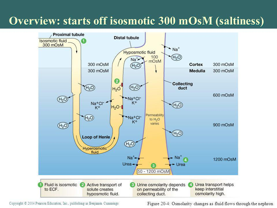 Copyright © 2004 Pearson Education, Inc., publishing as Benjamin Cummings Overview: starts off isosmotic 300 mOsM (saltiness) Figure 20-4: Osmolarity changes as fluid flows through the nephron