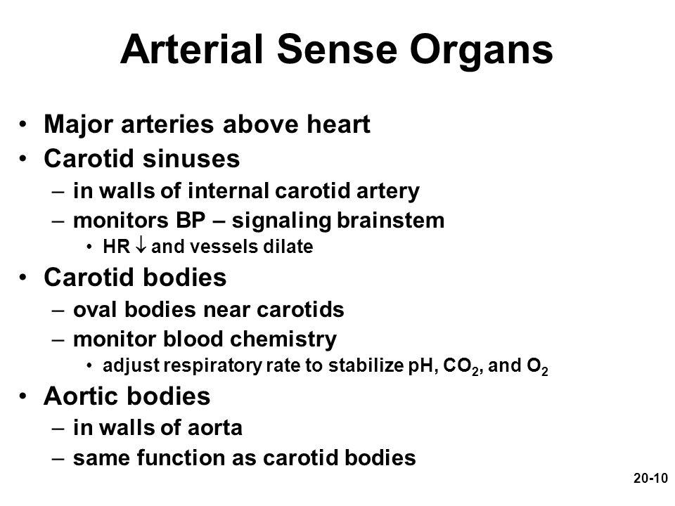 20-10 Arterial Sense Organs Major arteries above heart Carotid sinuses –in walls of internal carotid artery –monitors BP – signaling brainstem HR  an