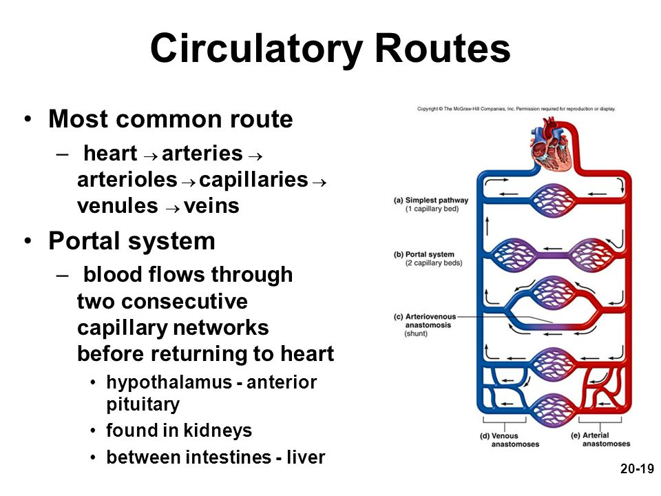 20-19 Circulatory Routes Most common route – heart  arteries  arterioles  capillaries  venules  veins Portal system – blood flows through two con