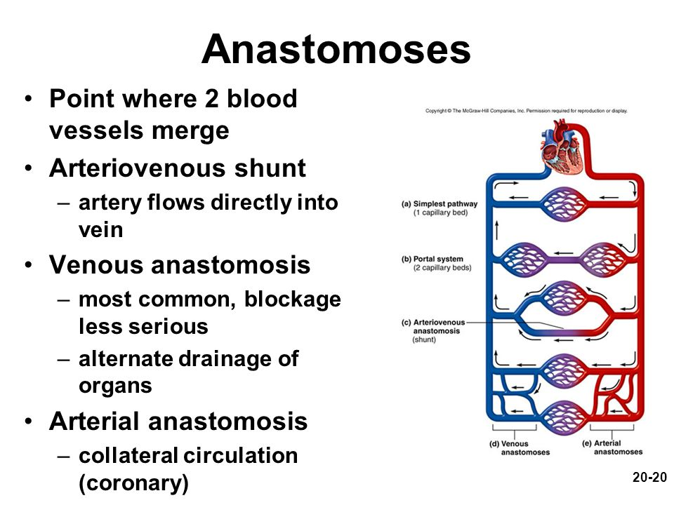 20-20 Anastomoses Point where 2 blood vessels merge Arteriovenous shunt –artery flows directly into vein Venous anastomosis –most common, blockage les