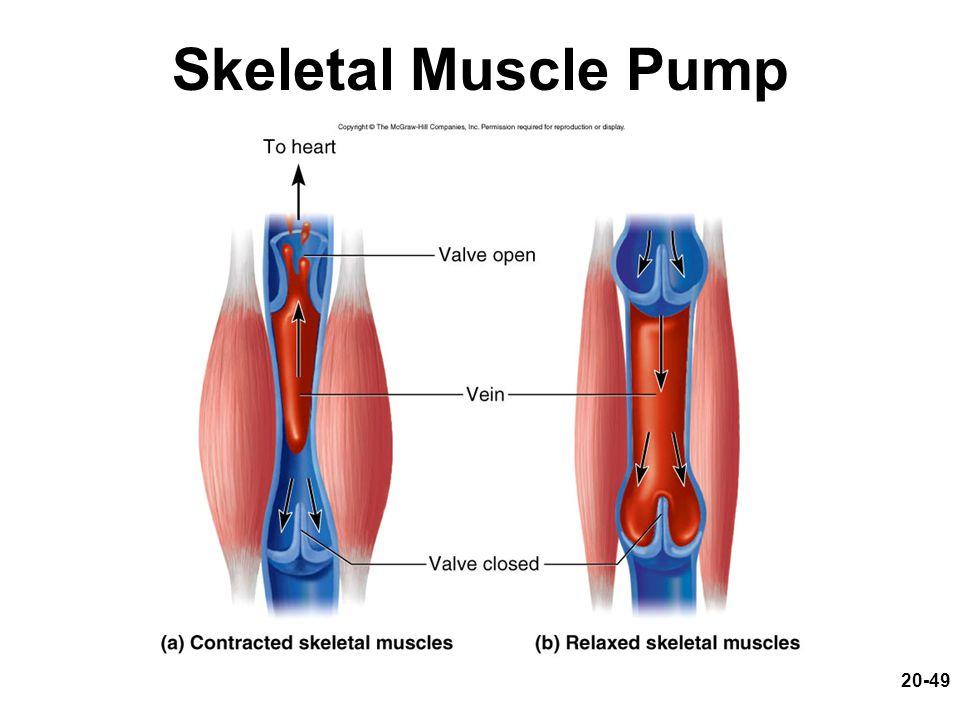20-49 Skeletal Muscle Pump