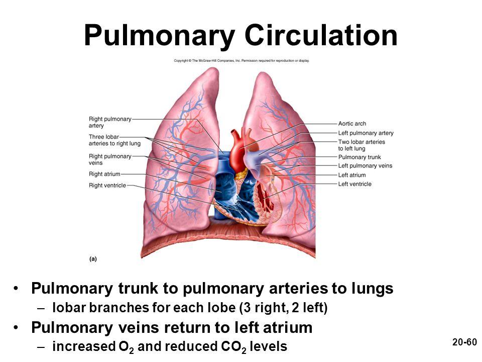 20-60 Pulmonary Circulation Pulmonary trunk to pulmonary arteries to lungs –lobar branches for each lobe (3 right, 2 left) Pulmonary veins return to l
