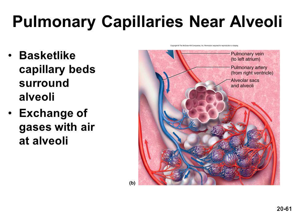20-61 Pulmonary Capillaries Near Alveoli Basketlike capillary beds surround alveoli Exchange of gases with air at alveoli