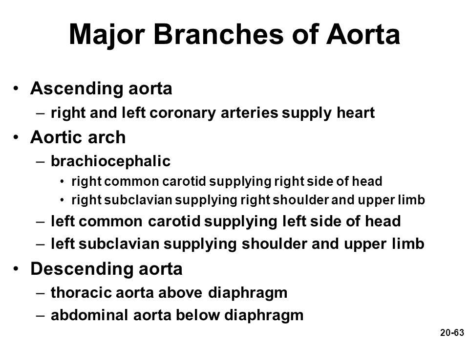 20-63 Major Branches of Aorta Ascending aorta –right and left coronary arteries supply heart Aortic arch –brachiocephalic right common carotid supplyi