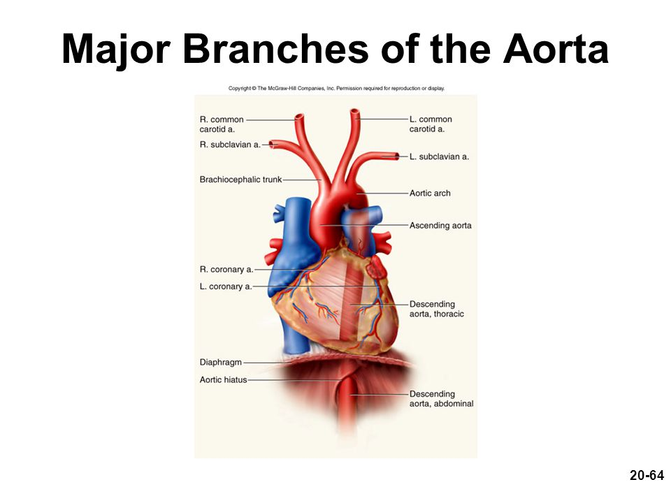 20-64 Major Branches of the Aorta