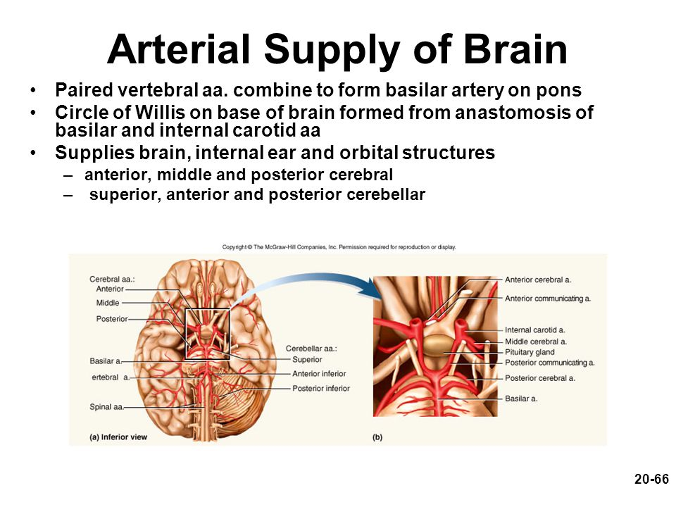 20-66 Arterial Supply of Brain Paired vertebral aa. combine to form basilar artery on pons Circle of Willis on base of brain formed from anastomosis o