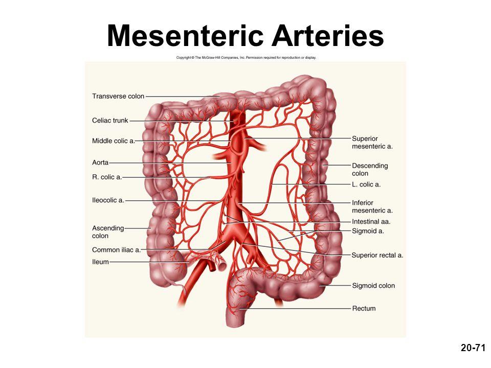 20-71 Mesenteric Arteries