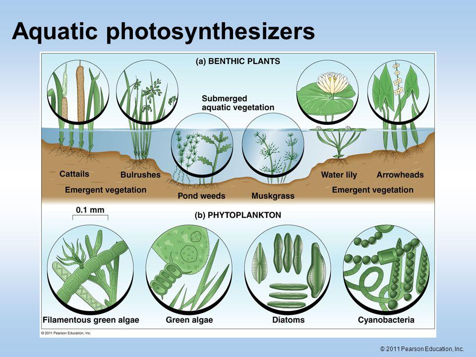 © 2011 Pearson Education, Inc. Aquatic photosynthesizers