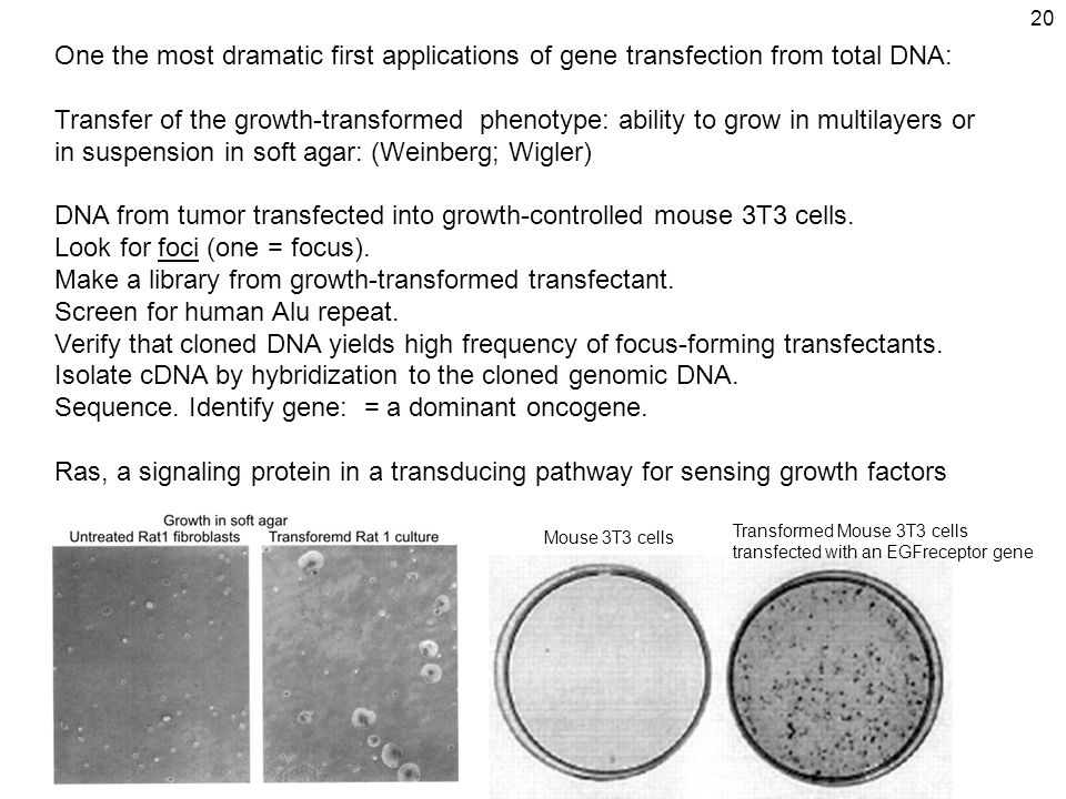 20 One the most dramatic first applications of gene transfection from total DNA: Transfer of the growth ‑ transformed phenotype: ability to grow in multilayers or in suspension in soft agar: (Weinberg; Wigler) DNA from tumor transfected into growth-controlled mouse 3T3 cells.