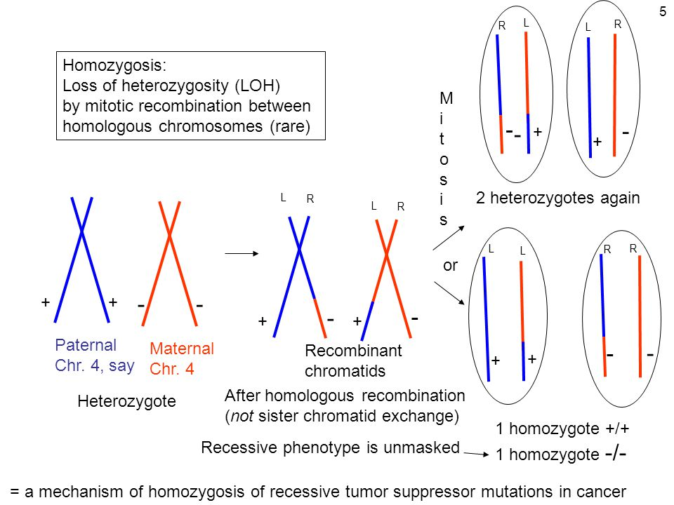 5 + - + - + - + - - + + - or Heterozygote After homologous recombination (not sister chromatid exchange) - - + - + 2 heterozygotes again 1 homozygote +/+ 1 homozygote -/- Homozygosis: Loss of heterozygosity (LOH) by mitotic recombination between homologous chromosomes (rare) Paternal Chr.